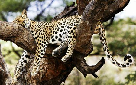 Free Cheetah Sleeping in a Tree