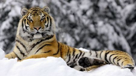 Free Regal Tiger