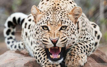 Free Gnarling Cheetah