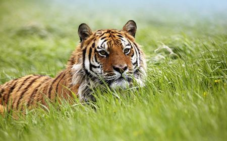Free Tiger Looking Over Grass