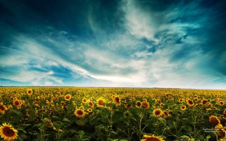 Free Sunflowers Landscape