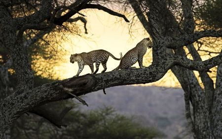 Free Leopards Hunting from the Trees