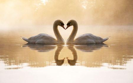 Free Loving Swans