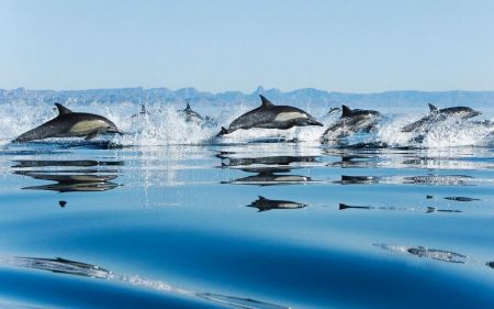 Free Dolphins Swimming Across Water