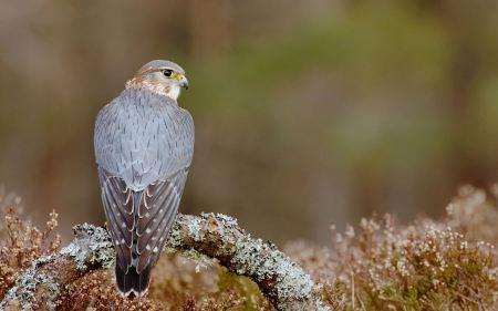 Free Perched Hawk