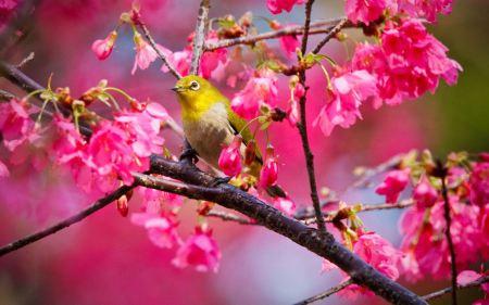 Free Mountain Cherry Bird