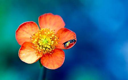 Free Bee on Orange Flower