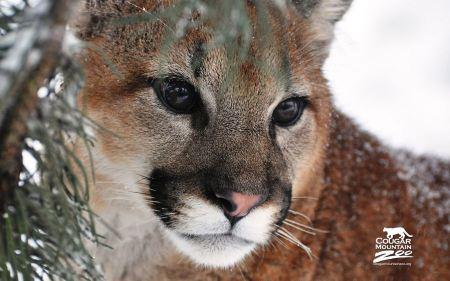 Free Cute Cougar