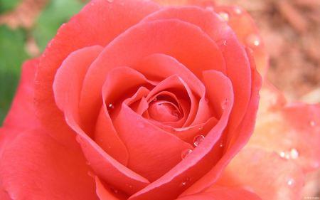 Free Tropicana Rose