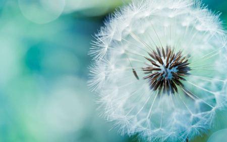 Free Dandelion Flower
