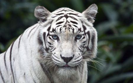 Free Peering White Tiger