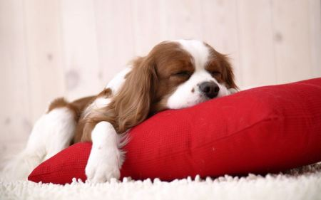 Free Napping Pooch on a Pillow