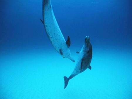 Free Dolphins Playing Underwater