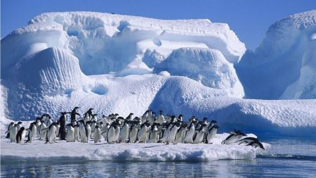 Free Penguins Going Swimming