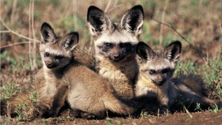 Free Small Family of Bat Eared Foxes