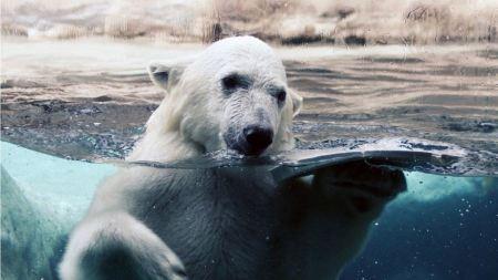 Free Swimming Polar Bear