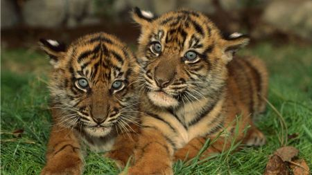 Free Cute Tiger Twins
