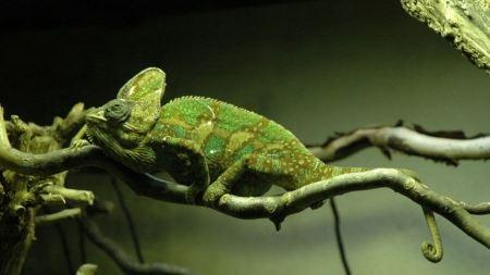 Free Camouflaging Chameleon
