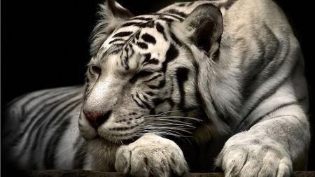 Free Calm White Tiger