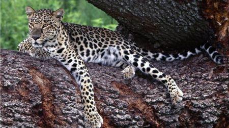 Free Cheetah in a Tree