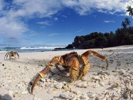 Free Coconut Crabs on Christmas Island
