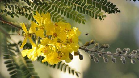 Free Acacia Flower Wallpaper