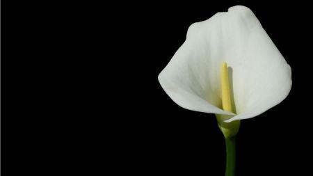 Free White Calla Lily