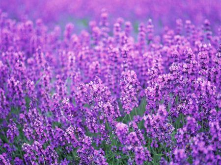 Free Lots of Purple Flowers Wallpaper