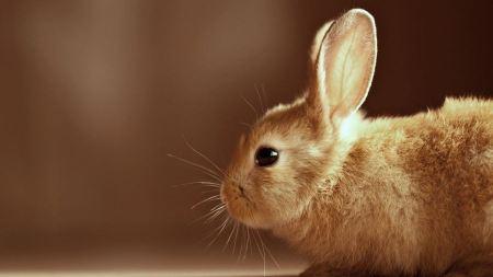 Free Cute Golden Rabbit