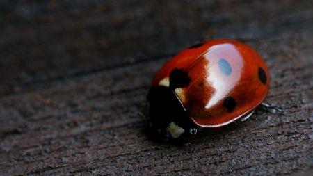 Free Shiny Red Ladybug
