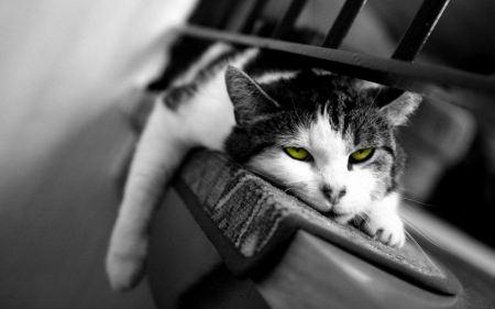 Free Green-eyed Lazy Cat