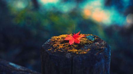 Free Red Maple Leaf on Stump