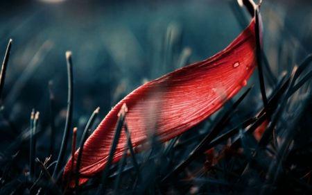 Free Fallen Red Leaf