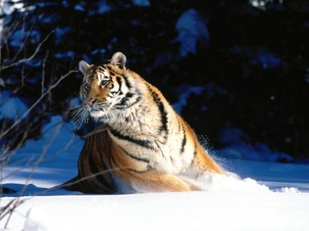 Free Tiger Walking Through Wintery Terrain