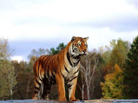 Free Distinctive Bengal Tiger