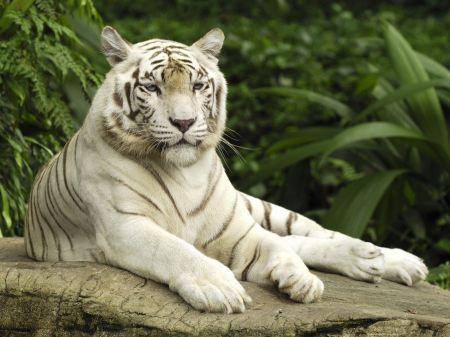 Free Majestic Sitting White Tiger