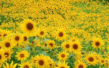 Free Sunflower Field