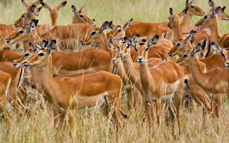 Free Endless Herd of Impala