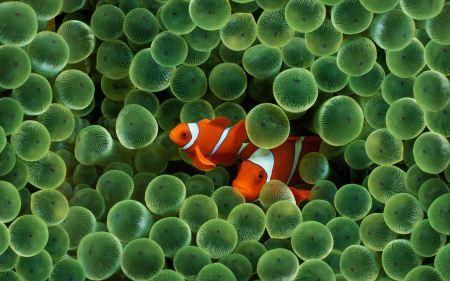 Free Orange Clownfish Peaking Through