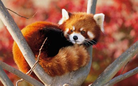 Free Red Panda in Branches