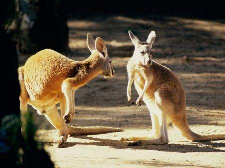 Free Prancing Kangaroos