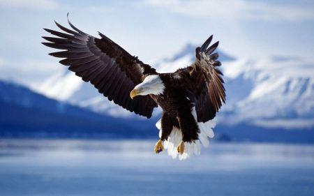 Free Bald Eagle in Flight