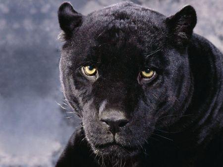 Free Observant Black Cheetah