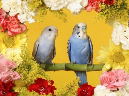 Free Baby Blue Budgerigars