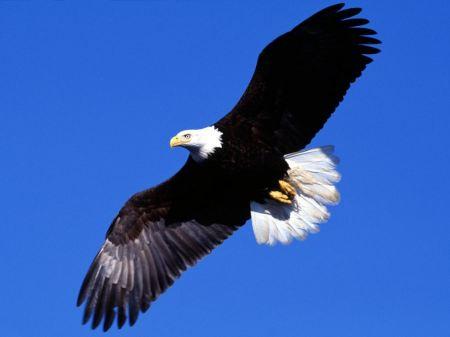 Free Soaring Bald Eagle