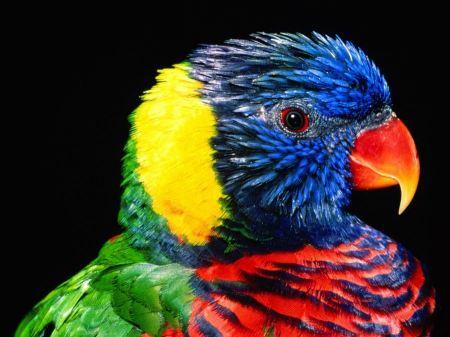 Free Multicolored Lorikeet