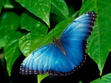 Free Beautiful Blue Butterfly