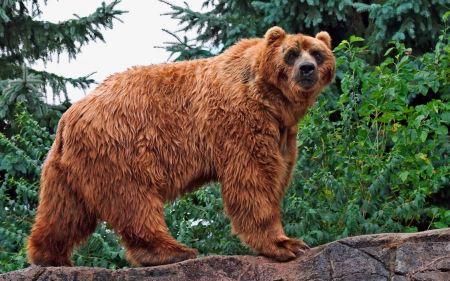 Free Mean Kodiak Bear