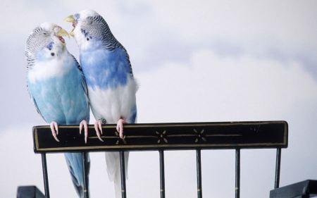 Free Parakeets Fooling Around