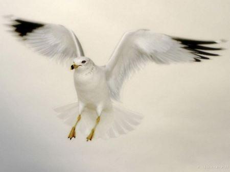 Free Landing White Dove